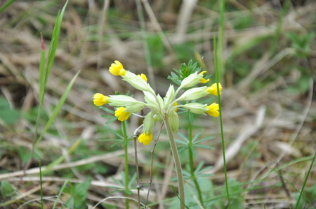 cowslip: photo of cowslip flower (in europe) Stock Photo