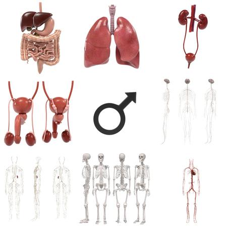renderings: 3d renderings of male anatomy Stock Photo