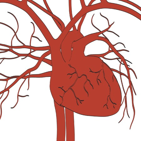 circulatory: 2d cartoon illustration of circulatory system