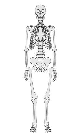 male model torso: 2d cartoon illustration of human skeleton