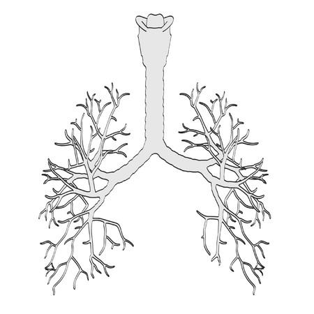 bronchi: 2d cartoon illustration of bronchi