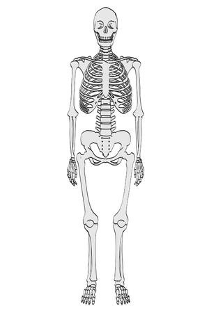 male model torso: 2d cartoon illustration of female skeleton Stock Photo
