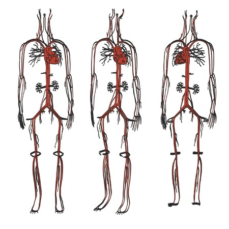 vena: 2d cartoon illustration of circulatory system