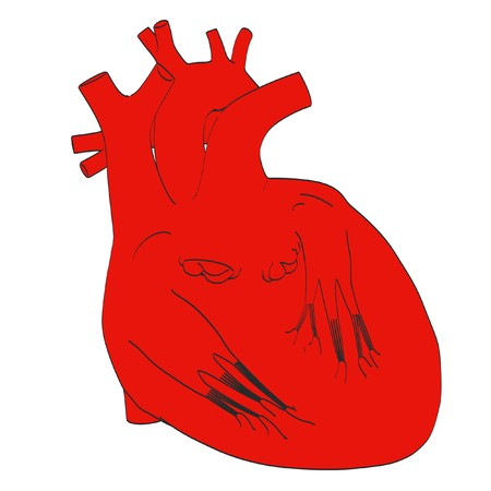 heart valves: 2d cartoon illustration of human heart