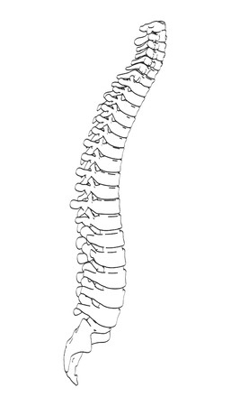 spinal cord: 2d cartoon illustration of spinal cord