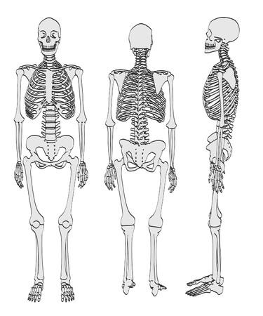 2d: 2d cartoon illustration of female skeleton Stock Photo
