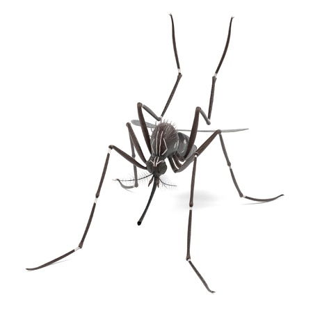 aedes: 3d render of Aedes Aegypti