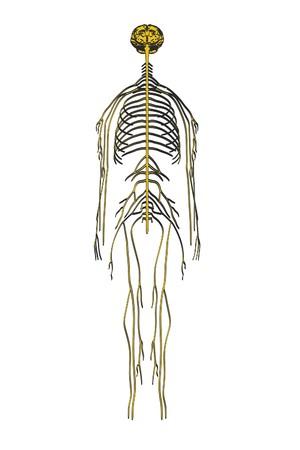 2d: 2d cartoon illustration of nervous system
