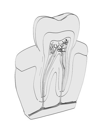 dentin: 2d cartoon illustration of tooth anatomy Stock Photo