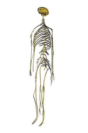 lobe: 2d cartoon illustration of nervous system