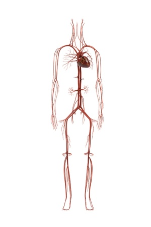 renderings: 3d renderings of human circulatory system