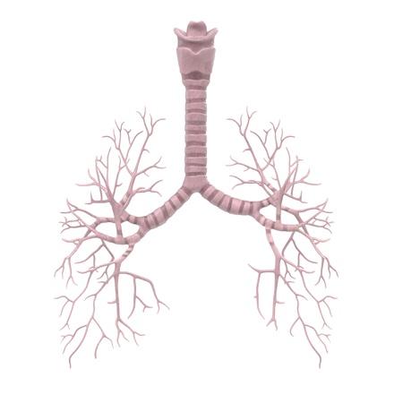 bronchi: 3d renderings of human bronchi