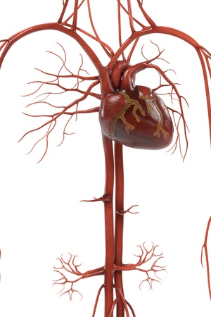 heart valves: 3d renderings of human circulatory system