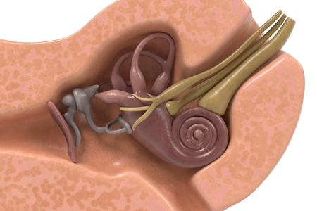 vestibular: 3d renderings of ear anatomy