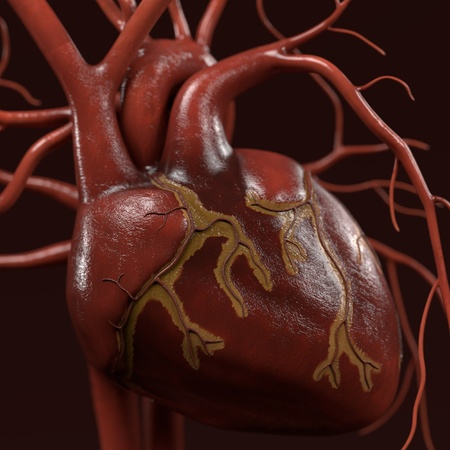 with aorta: 3d renderings of human circulatory system