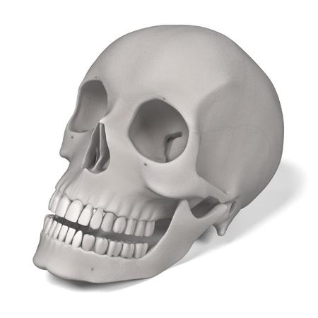renderings: 3d renderings of female skull