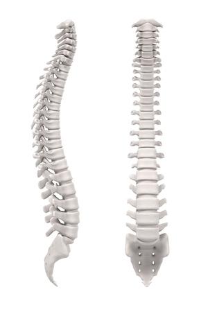 medula espinal: Representaciones 3d de la médula espinal Foto de archivo