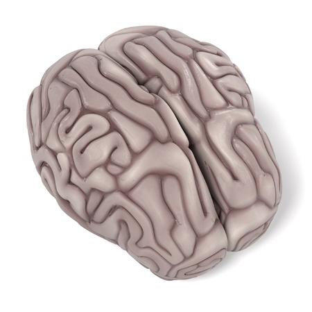 cerebrum: 3d renderings of human brain