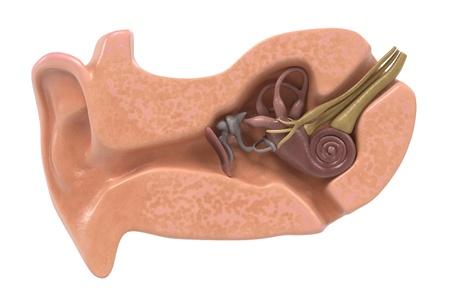 rendering 3D di anatomia dell'orecchio