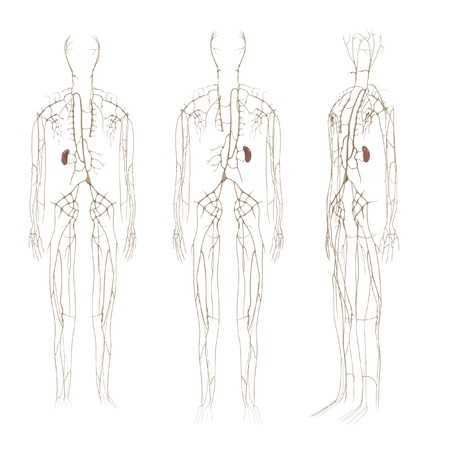 lymphatic: 3d renderings of lymphatic system Stock Photo