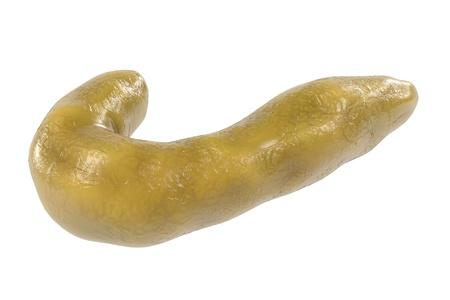 bowel movement: 3d renderings of human pancreas Stock Photo