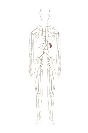 renderings: 3d renderings of lymphatic system Stock Photo
