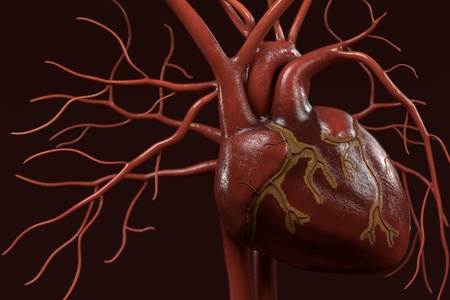 circulatory: 3d renderings of human circulatory system