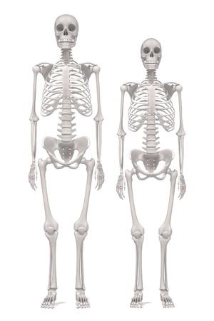 renderings: 3d renderings of human skeletons