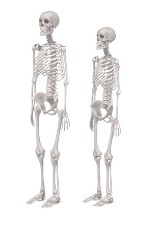male model torso: 3d renderings of human skeletons