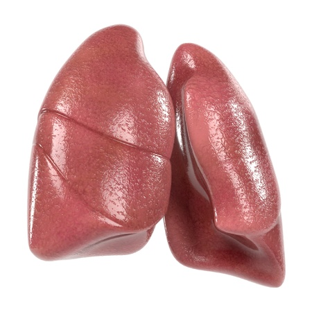 epiglottis: 3d renderings of human respiratory system