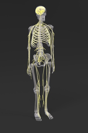 cns: 3d renderings of nervous system Stock Photo