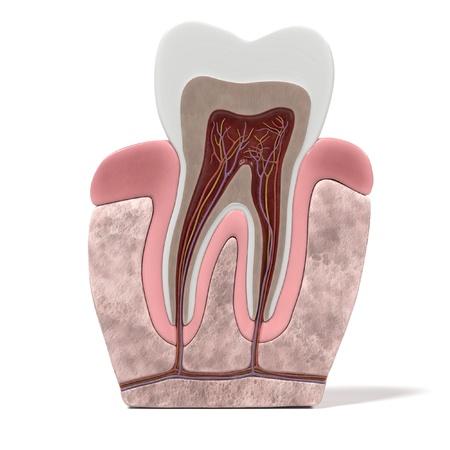3D-renderings van de tand anatomie Stockfoto