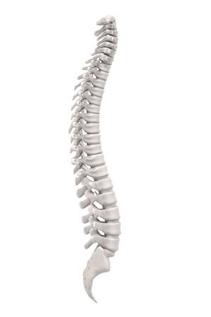 medula espinal: Representaciones 3d de la m�dula espinal Foto de archivo