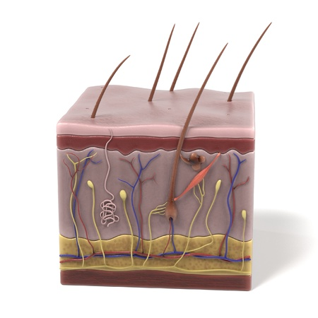 dermis: 3d renderings of skin anatomy Stock Photo