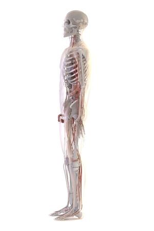renderings: 3d renderings of human anatomy