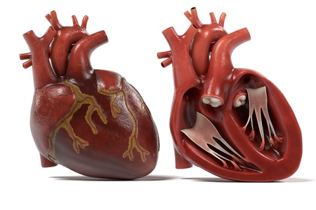 heart valves: 3d renderings of human heart