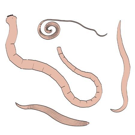 ascaris: 2d cartoon illustration of digestive parasites