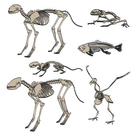 2d cartoon illustration of animal skeletons Stock Illustration - 66857025