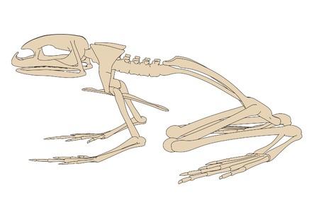 2d cartoon illustration of toad skeleton Stock Illustration - 66857909