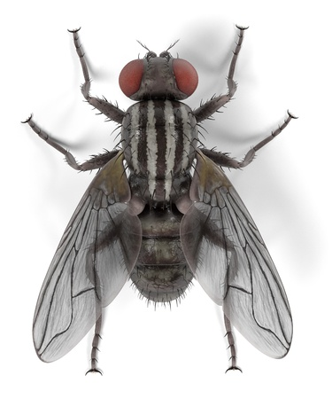 musca domestica: realistic 3d render of musca domestica - common fly