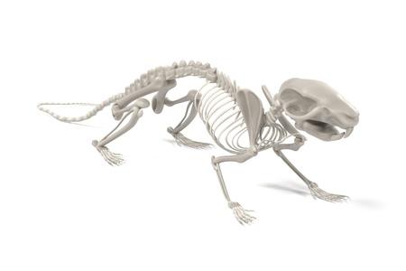 2d Ilustración De Dibujos Animados Del Esqueleto De Rata Fotos ...