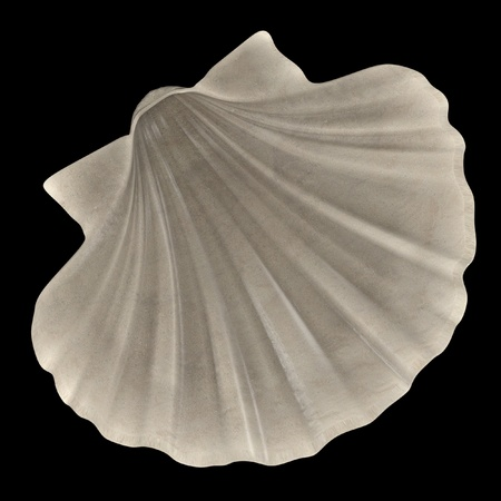 clam illustration: realistic 3d render of Pecten Albicans (Japanese Baking Scallop)