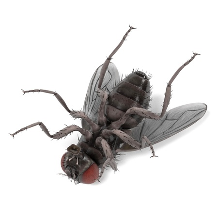host: realistic 3d render of musca domestica - common fly