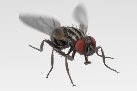 musca: realistic 3d render of musca domestica - common fly