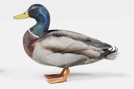 Realistic 3D Render of Duck