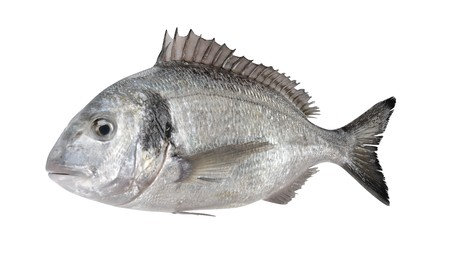 Realistic 3D Render of Gilthead Bream Fish