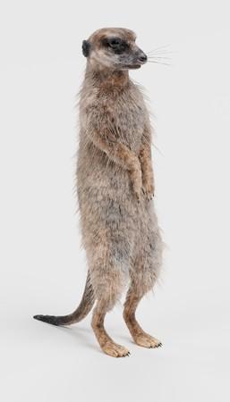 Realistische 3D Render van Meerkat Stockfoto