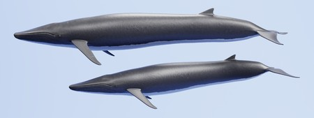 Realistic 3D Render of Fin Whale