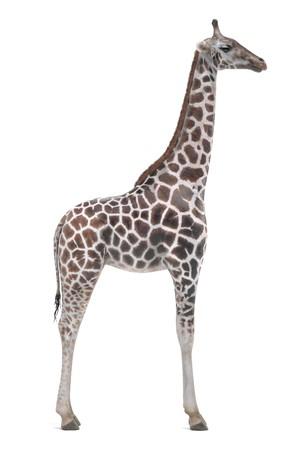Realistic 3D Render of Giraffe (Rothschild)