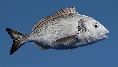 Realistic 3D Render of Gilthead Bream Fish Reklamní fotografie - 91611880